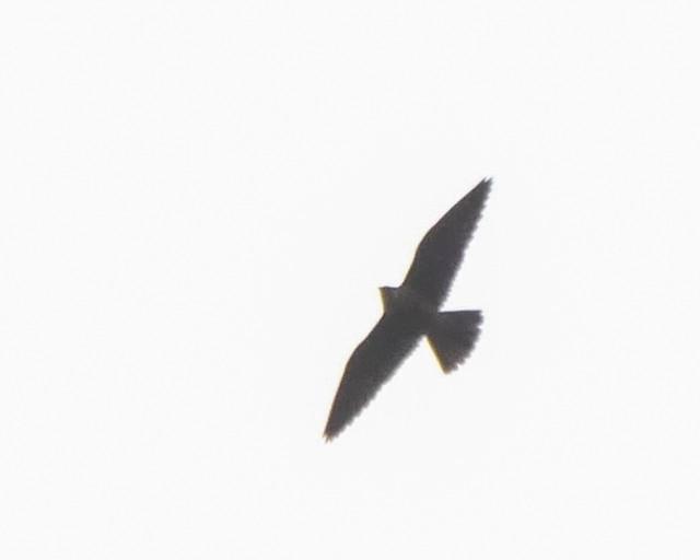 Peregrine Falcon - 1 - 2