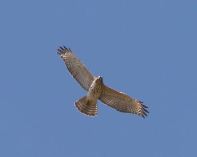Red-shouldered Hawk - 1 - 1