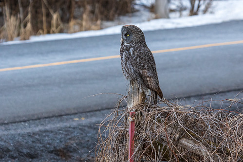 Great grey owl waiting for a bus.