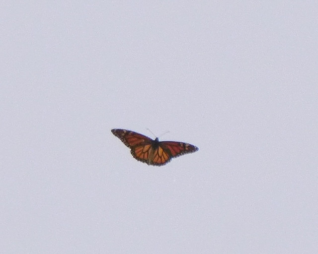 Migrating Monarch Butterfly - 1 - 3