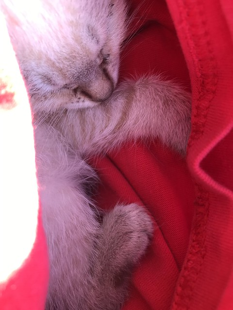 One-month-old kitten