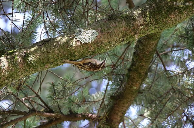 Brown Creeper - 094A7938a1c