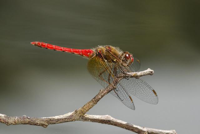 Cardinal Meadowhawk - Sympetrum illotum (Libellulidae) 111s-2900