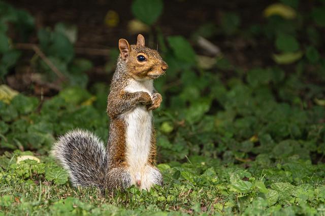 Squirrel in my back yard