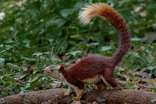 BKP0021-Malabar Giant Squirrel (Ratufa Indica)