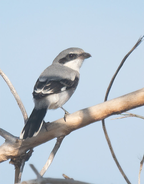 Loggerhead Shrike-8
