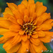 Zippy Zinnia Series