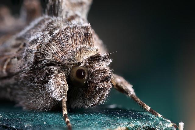 Silver Y moth #4