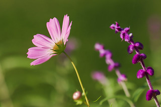cosmos and mexican sage