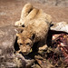 Lion-Cup