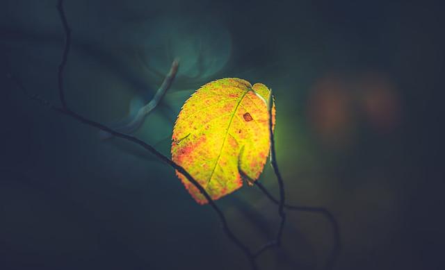 Backlit autumn leaf