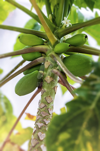 Mamoeiro | Papaya Tree | Carica papaya