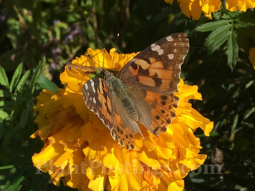 tagetes with butterfly