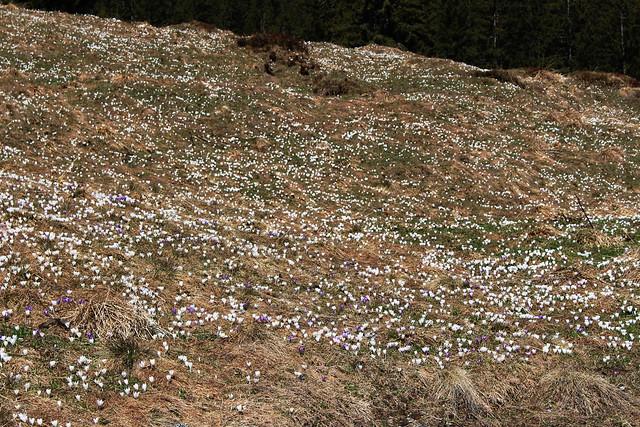 Alpine glade with crocusses / Алпийска поляна с минзухари