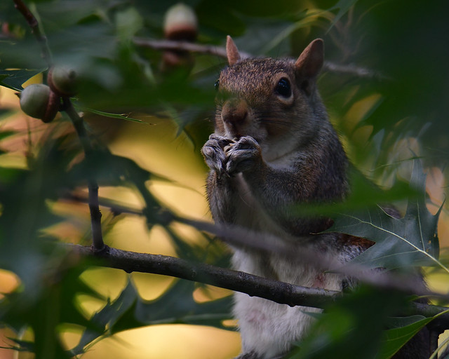 Squirrel eating acorns, Linden Hills