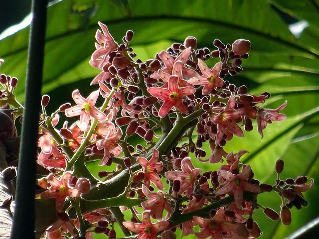 Sterculia apetala (Jacq.) H.Karst. 1862(MALVACEAE).