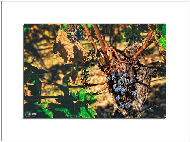 vignes« Quand le merle voit les vendangeurs entrer dans la vigne, il s'étonne surtout de les voir qui n'ont pas, comme lui, peur de l'épouvantail. «   De Jules Renard