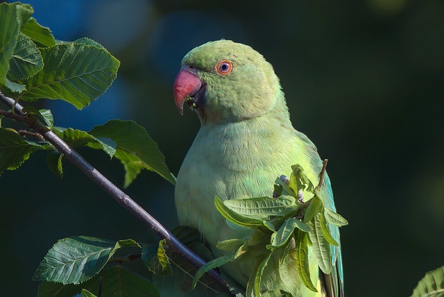 a Portrait of a rose ringed parakeet