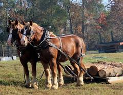 Logging Horses.