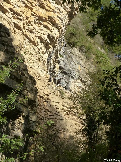 Chamois a la roche pourrie - Salins Les Bains - Jura