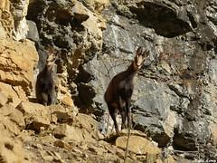 Gros plan sur les Chamois de la roche pourrie - Salins les Bains - Jura