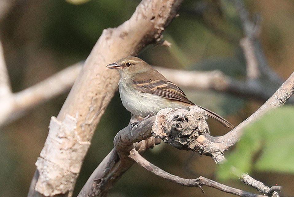 Fuscous Flycatcher-Cnemotriccus fuscatus