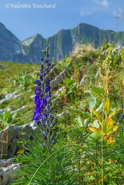 SF-_MG_1825 - Aconitum Napelus, fleurs des préalpes, Gruyère region - Switzerland