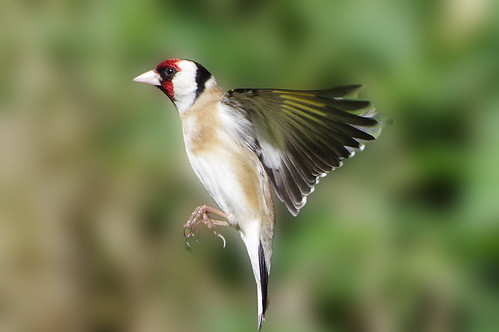 cardueliscarduelis norfolk weetingheath bird goldfinch nature wild wildlife