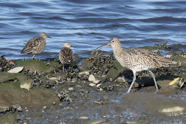 Curlew with Ruff