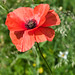 "<p><a href=""https://www.flickr.com/people/fisherbray/"">fisherbray</a> posted a photo:</p> 	 <p><a href=""https://www.flickr.com/photos/fisherbray/48902215048/"" title=""Common Poppy (Papaver rhoeas)""><img src=""https://live.staticflickr.com/65535/48902215048_3062a1ed00_m.jpg"" width=""180"" height=""240"" alt=""Common Poppy (Papaver rhoeas)"" /></a></p>  <p>Common Poppy (Papaver rhoeas) blooming in the bower during a hike through Sheringham Park near Sheringham, Norfolk, England.</p>"