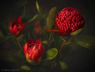 Waratah Blooming
