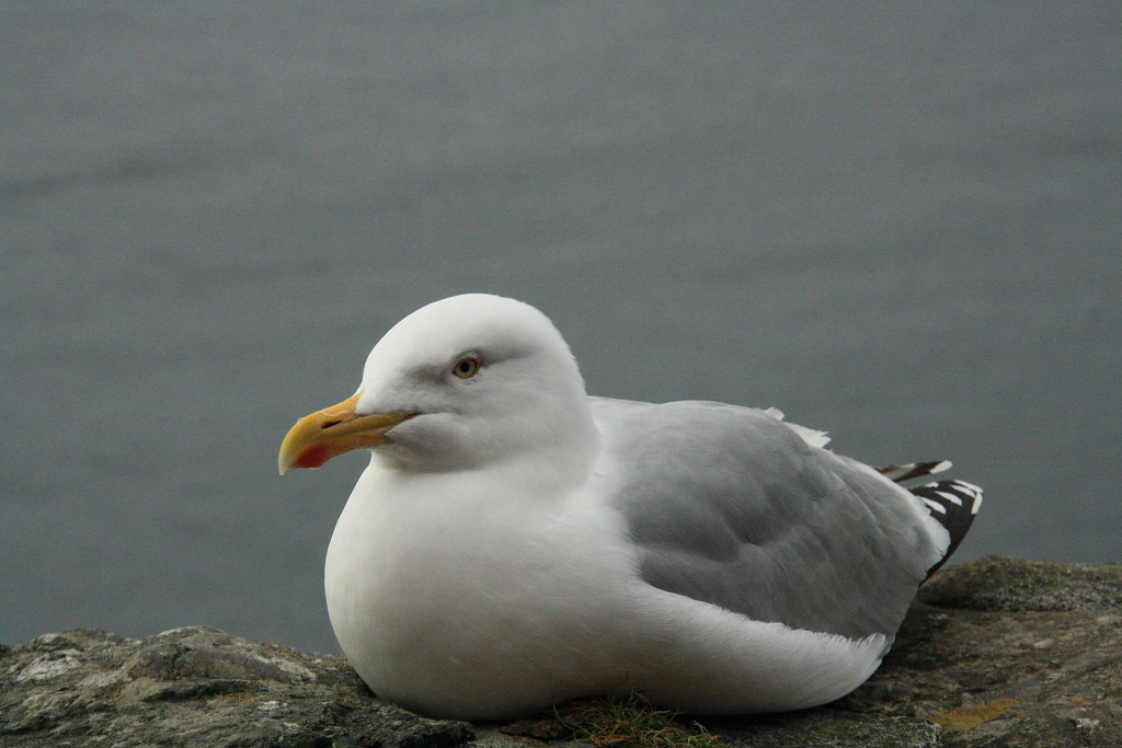 Gull Roosting Dingle Penninsula County Kerry