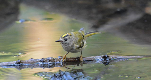 Goldcrest - Swell Wood, Somerset (explored 16/10)