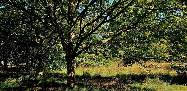 Sycamore...Acer, Pseudoplantanus Brilliantissimum