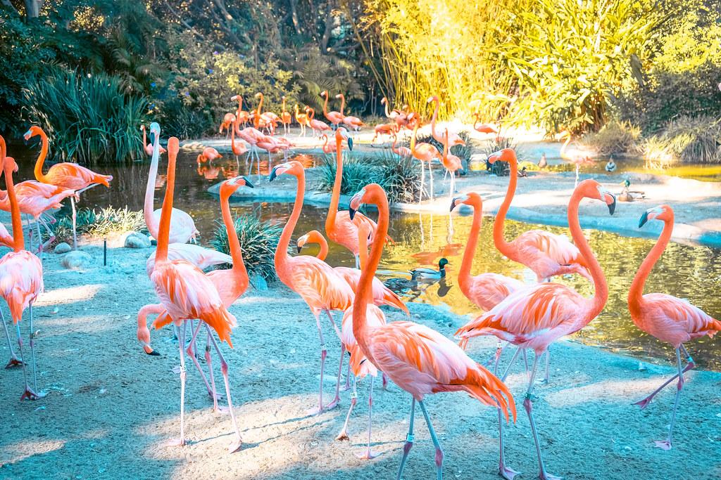 Flamingos at San Diego Zoo   Best views in San Diego