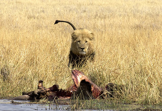 "Male Lion (Panthera Leo) & African Buffalo Kill | by Gregory ""Slobirdr"" Smith"