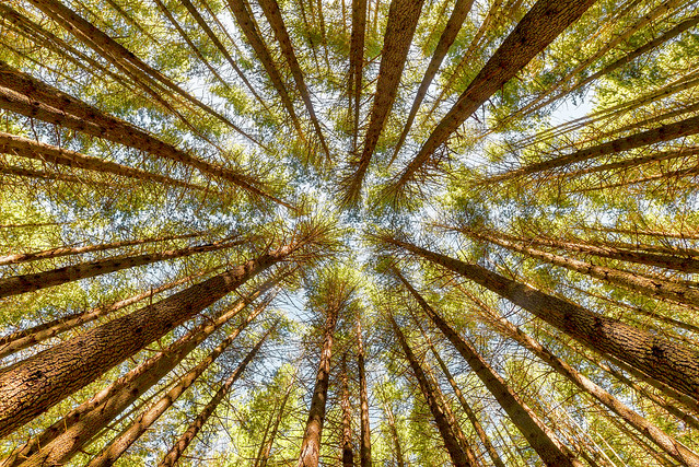 Sugar Pines - Tumut, NSW