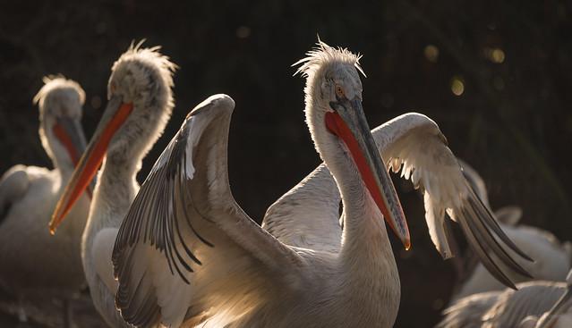The Proud Pelican.