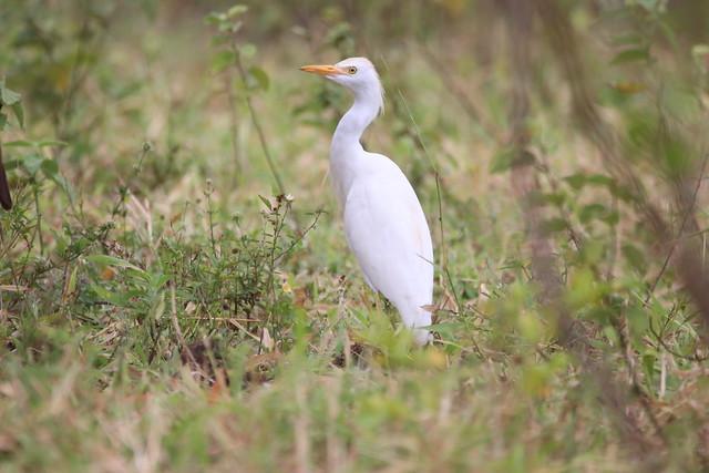 Garça vaqueira (Bubulcus ibis) Vale da Neblina-PB, Brasil.