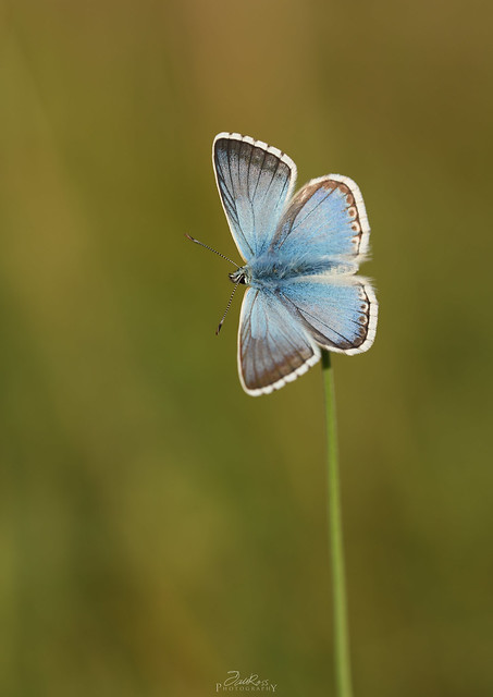 Male Chalkhill Blue.
