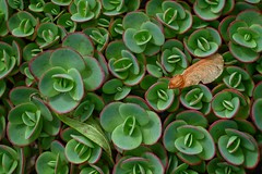 Helicopter Seed On Stonecrop