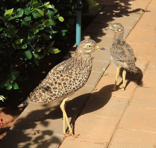 Spotted Thick-knee and Chick