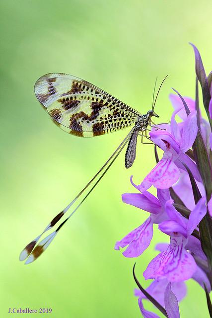 Nemoptera bipennis y Dactylohirza elata.