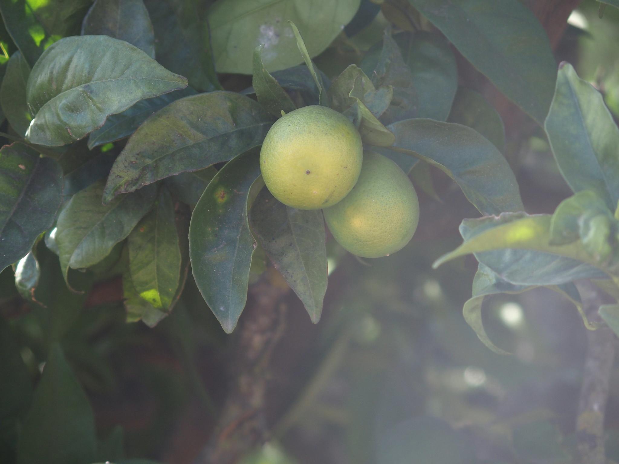 A1 Citron