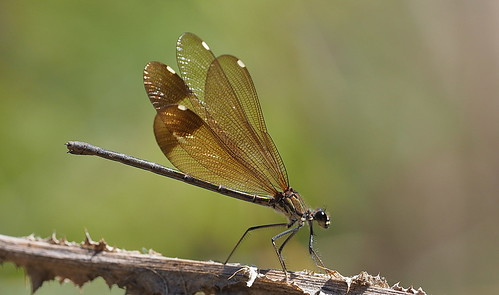 Copper Demoiselle (Caloptryx haemorrhoidalis) female....