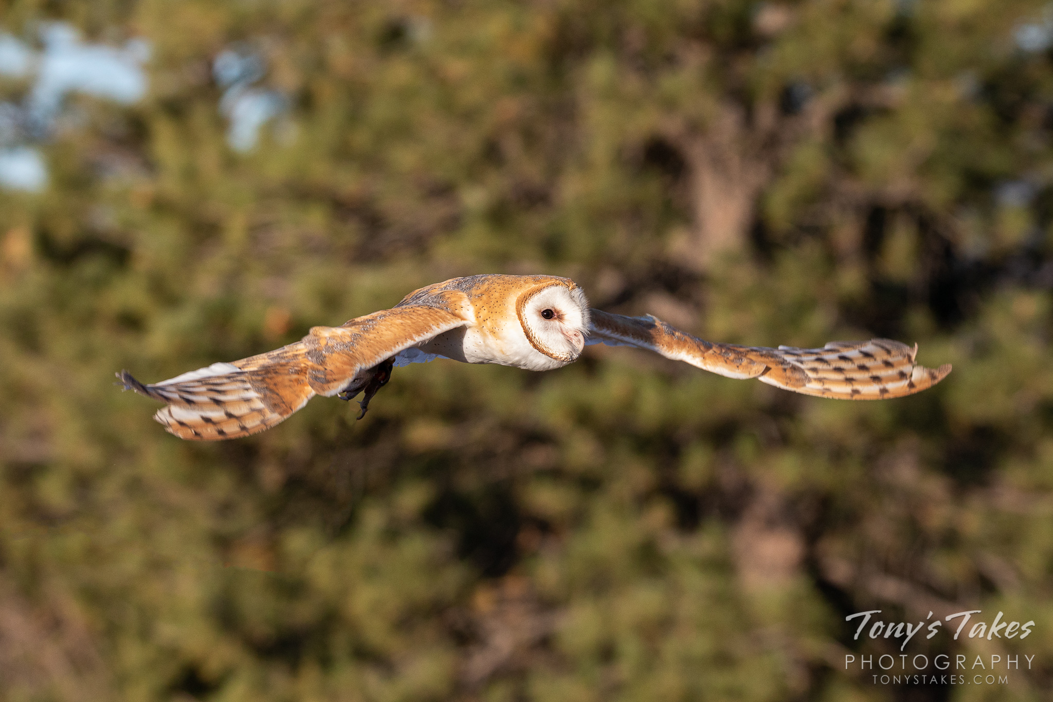 A barn owl (captive) glides with ease toward a landing spot. (© Tony's Takes)