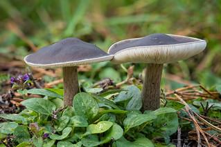 Pilze (Melanoleuca sp.) am Wegesrand