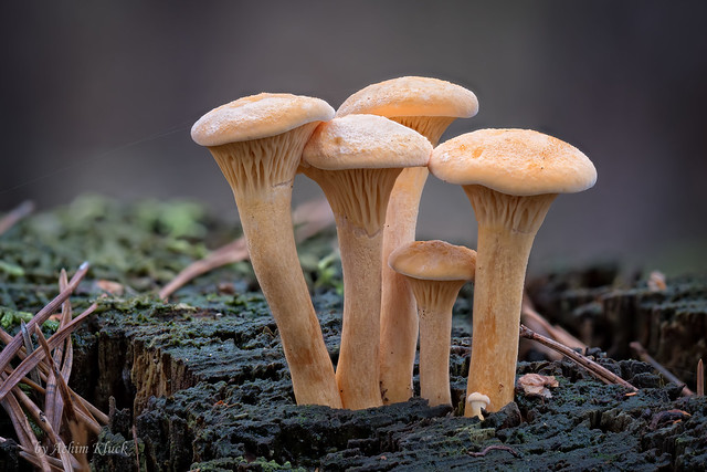 Pilzgruppe (Hygrophoropsis sp.) auf Totholz