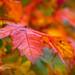 "<p><a href=""https://www.flickr.com/people/swjuk/"">SWJuk</a> posted a photo:</p>  <p><a href=""https://www.flickr.com/photos/swjuk/48903767561/"" title=""SJ2_2864 - Autumn leaves""><img src=""https://live.staticflickr.com/65535/48903767561_fa3b438a95_m.jpg"" width=""240"" height=""160"" alt=""SJ2_2864 - Autumn leaves"" /></a></p>  <p>Autumn leaves in Burnley, Lancashire, UK<br /> <br /> <b>©SWJuk (2019)<br /> All rights reserved<br /> All rights reserved</b></p>"
