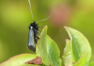 Green Longhorn moth (Adela reaumurella)